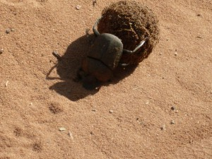 Dungbeetle at Senyati